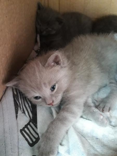 Готовятся к продаже очаровательные котята мама папа породистые 500руб есть и мальчики и девочки свет