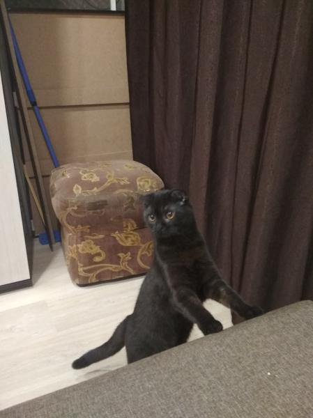 Ищем прямоухого шотландского кота для вязки с вислоухой шотландской кошечкой. По оплате договоримся