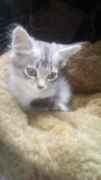 Найден котёнок, сегодня утром отчаянно кричал у мусорки в Холодном логу, возможно потярялся. Красивы
