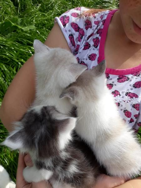 Отдам котят, 2 светлых мальчика и 1 пёстрая девочка. Ходят в лоток, кушают корм вместе с мамой-кошко