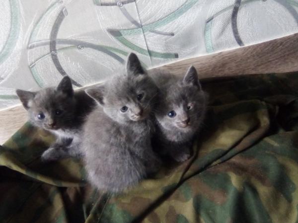 Отдам котят в хорошие руки, 2 мальчика и 1 девочка, серого цвета, очень игривые, 1 мес. с половиной,