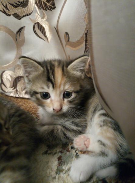 Отдам котёнка (девочку)
