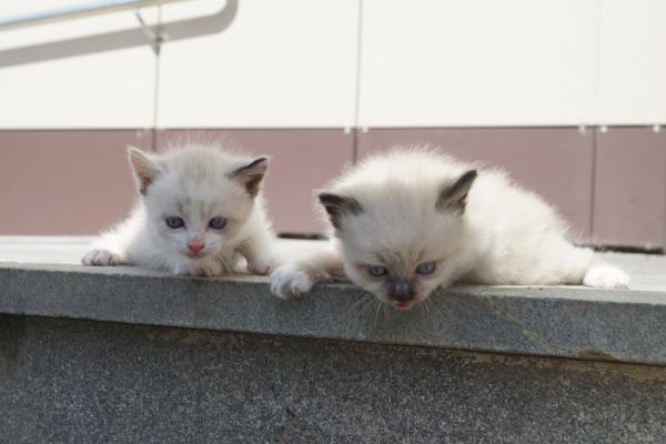 Отдам котёнка мальчик, 2,5 мес. , день рождения 19 июня, пушистый, глаза голубые. На фото который с