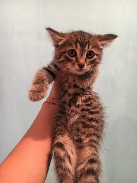 Отдам котёнка (мальчик) в хорошие руки, к туалету приучен, кушает все