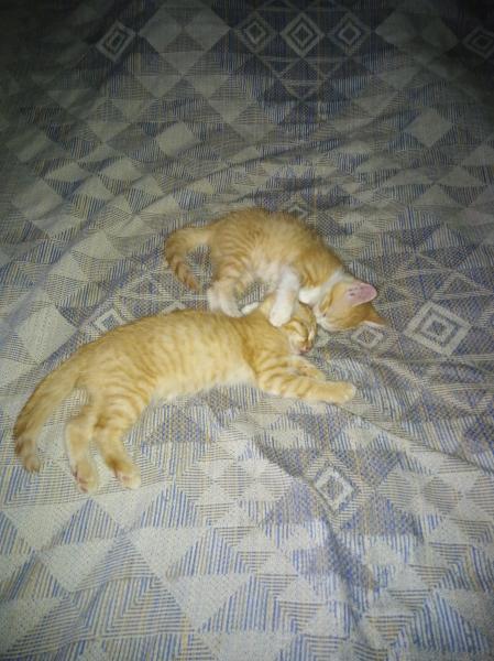 отдам в добрые руки двух рыжих котят девки звонить после 18:00