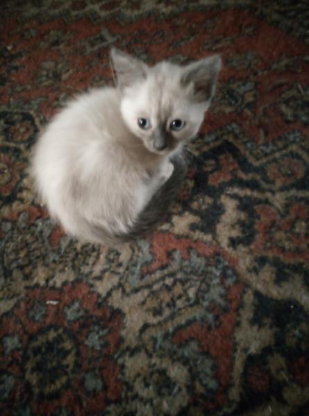 Отдам в добрые руки, котенок девочка, от мамы мышеловки, мышек уже видела)  Цвет очень красивый, ка