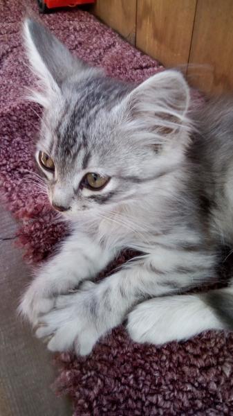 Отдам в добрые руки котёнка мальчика. Очень красивый, пушистый, ласковый, кушает все. Нашла на улице