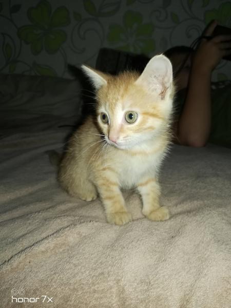 Отдам в добрые руки рыжего, игривого котенка 1. 5 мес. (мальчик). К лотку приучен, в питании неприхо