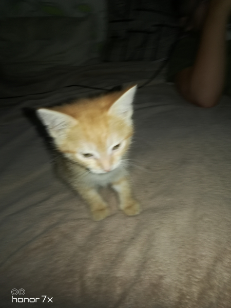 Отдам в добрые руки рыжего, игривого котика (мальчик). К туалету приучен, в еде непривередлив. Пород