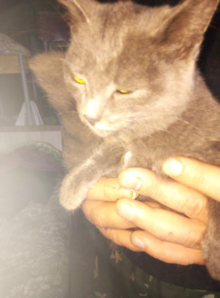 Отдам в хорошие руки серенького котёнка - мальчика от кошки мышеловки, ест все, энергичный