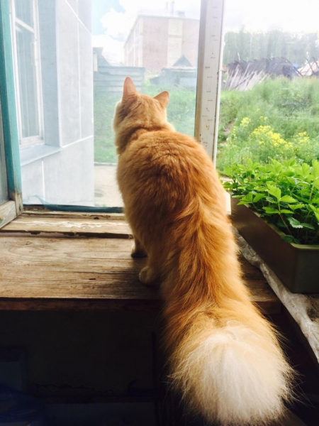 Отдам в заботливые руки кота. В связи с переездом в другой город. Персику 3 года. Кастрированный. До