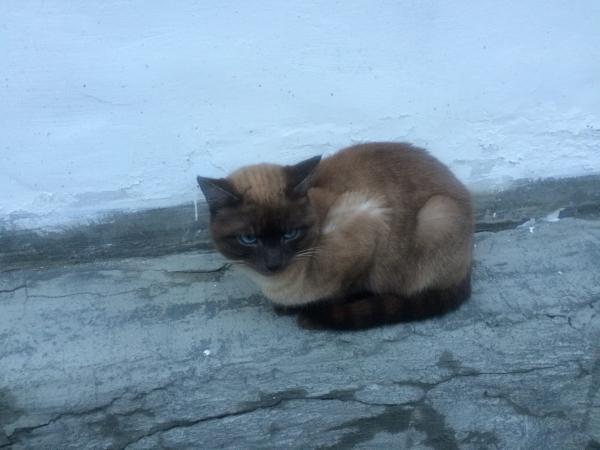 Помогите найти хозяина! На крыльце 3 школы несколько дней сидит красивый кот/кошка шоколадного окрас