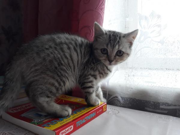 Продам Чистокровных Шотландских котят. Папа с документами у мамы только родители. Окрас Белый 1 один