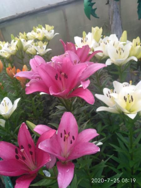 Продам многолетние цветы: лилии, лилейник, хосты, почвопокровные растения и многое другое