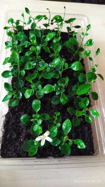 Продам мурайю метельчатую Представляет собой небольшой кустарник с блестящими зелёными листьями обр