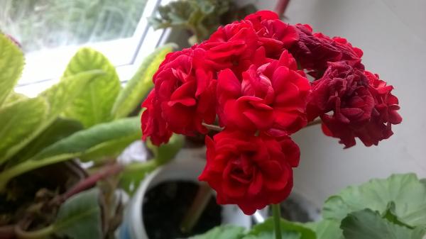 продам отводки герани махровая красная цветет розочками 100р. есть полумахрова белая 100р. фуксии ма