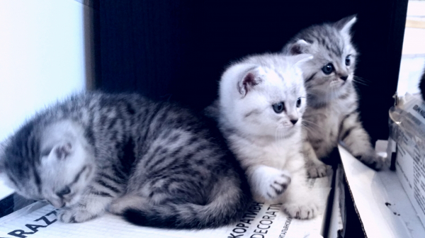 Продам шотландских вислоухих котят. Окрас вискас, глаза зеленые, готовы к переезду