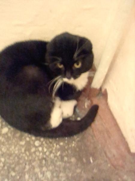 Возле дневного стационара живёт кошка(кот),видно домашний другие коты очень обижают. Вислоухий, очен